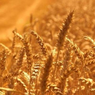 Фермент для расщепления крахмала зерна